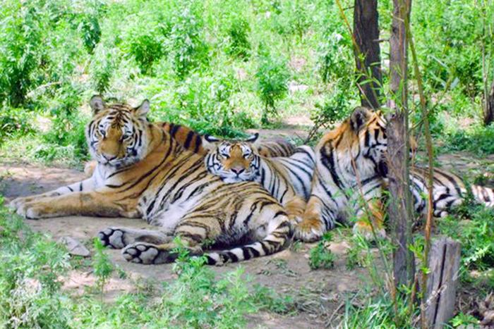 八达岭野生动物园被老虎亲吻的女子